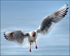 black-headed-gull-in-breeding-coloursNo28520_2_tm-copy