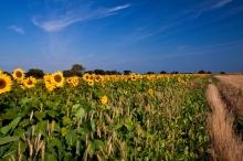 Beal Sunflowers