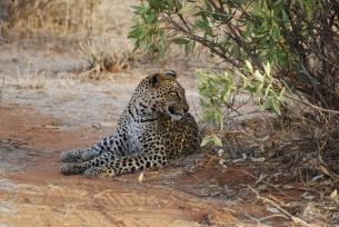 59 Leopard at Sunset