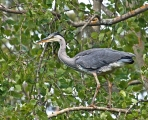 14 Grey heron perched high in tree