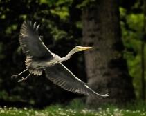 14 Heron in flight