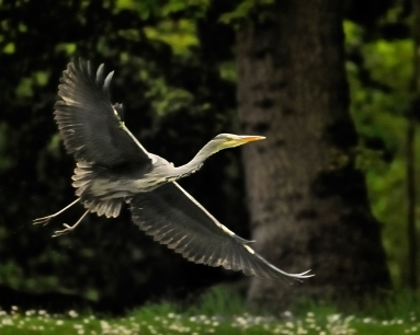 14 Heron in flight