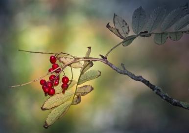 40 Rowan berrysWater of Leith