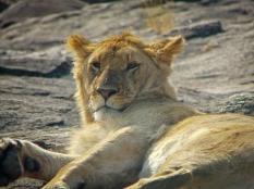 71 Lioness Masai Mara
