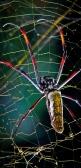 71 Spider