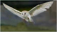 1. Barn Owl