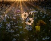 Daisy Sunset