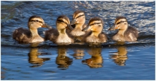 Wee Ducklings