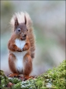 30, Red Squirrel, Jennifer Davidson